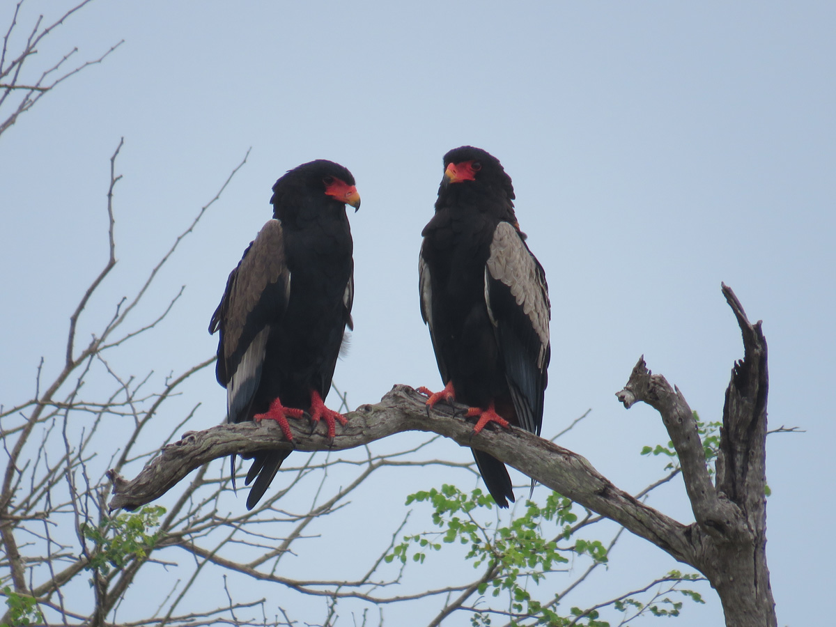 Silver_oak_tours_bateleur-eagles_